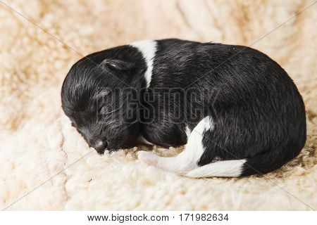 Small few days puppy lying on white soft furry coverlet. Black dog baby with white spots. Newborn little puppy in boarding home for dogs on cover