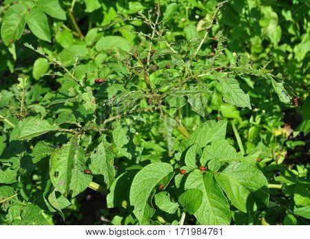 Colorado potato beetle larvae. The Colorado potato beetle (Leptinotarsa decemlineata) also known as the Colorado beetle the ten-striped spearman