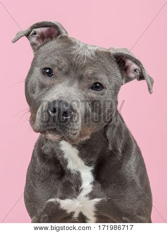Portrait of a Pit-bull terrier at a pink background