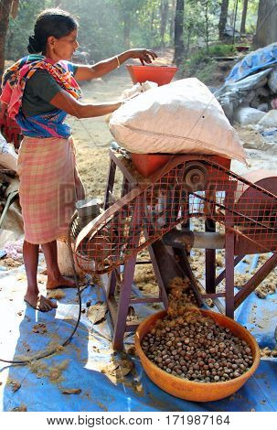 Goa, India - Feb 7, 2014: Indian Woman Using A Special Machine To Brush Nuts Of Betel Palm (areca Ca