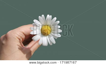 Camomile in the hands on a colored background.