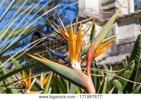 Strelitzia Or Bird Of Paradise Flower In Portugal