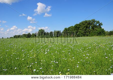 Beauliful Flax Field. Flax Flowers Meadow in summer