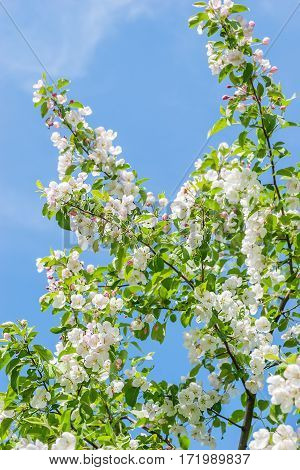 Blossoming of apple flowers in spring time against blue sky