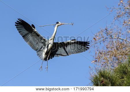 Blue heron flying with a branch to the nest