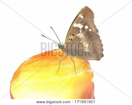 tropical butterfly insect eating ripe peach fruit