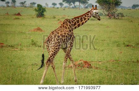 Long shot of single giraffe looking at camera in Murchison Park, Uganda