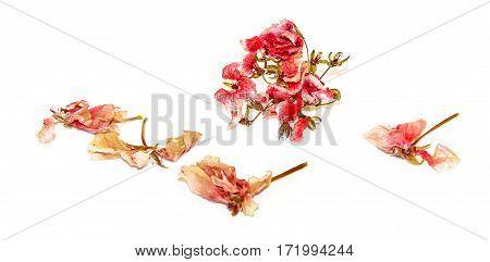 Dry Pink Geranium Perspective Flowers And Petals Of Pelargonium