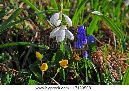 The snowdrops. First spring flowers - snowdrops. What they are is fresh, bright, blue! They delight people by their appearance, these flowers are heralds of spring.