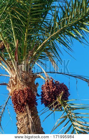 Dates On A Palm Tree Against The Blue Sky, Close-up