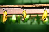 butterfly cocoons in rows of pods and not hatched insect babies hanging from a hive of bugs poster