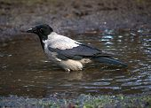 Grey crow bading in a pool of rainwater poster
