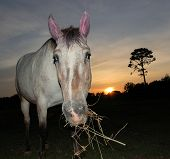 Horse chewing on hay with sunset in the background poster