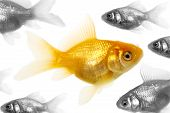 Isolated of the gold fish on white poster
