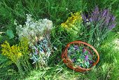 Gather Herbs. Herbal Plants. Hypericum perforatum yellow bedstraw St John's wort Galium verum Red Clowers Filipendula ulmaria meadowsweet is commonly used to make a sweet-tasting herbal tea. poster
