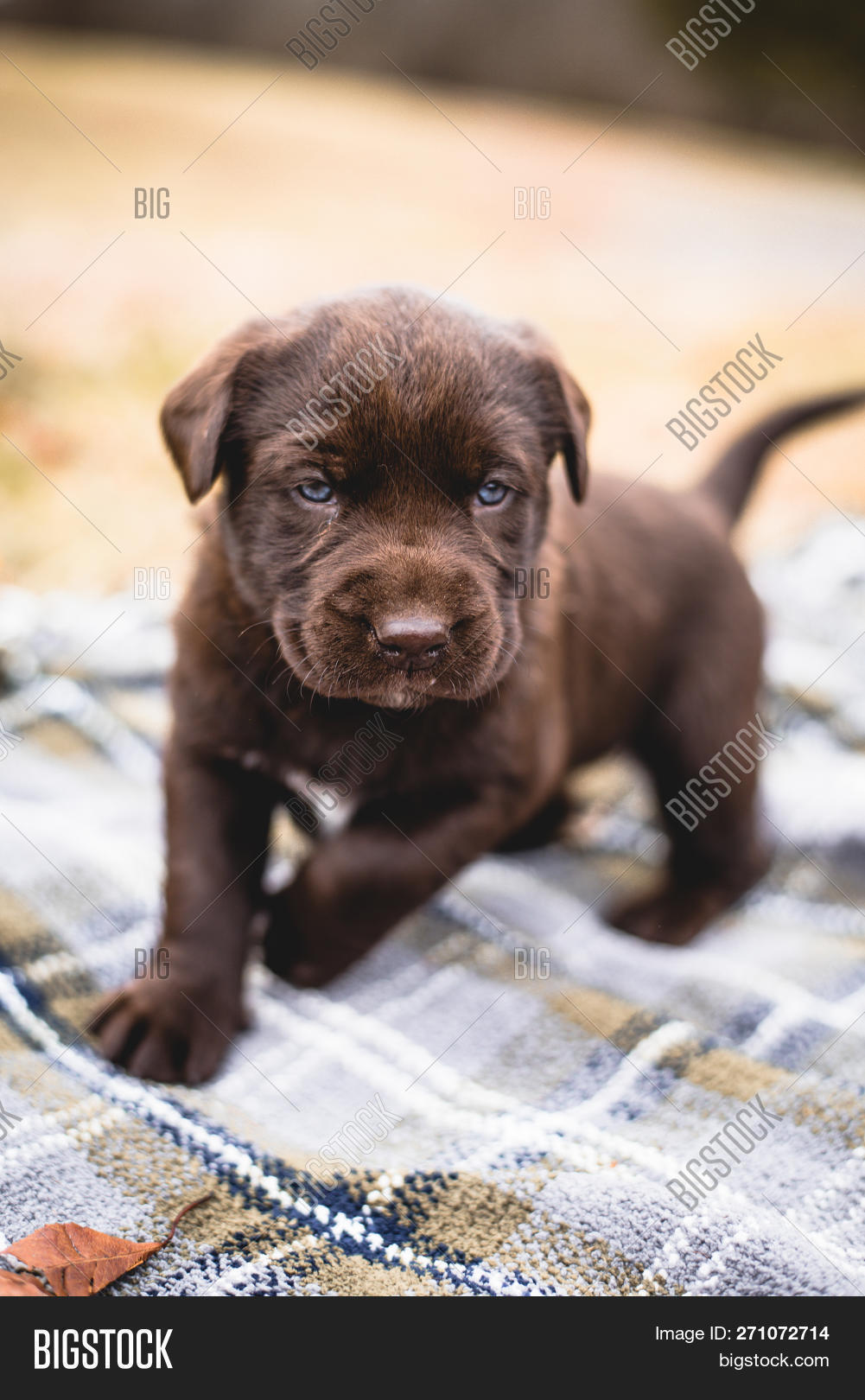Cute Brown Chocolate Image Photo Free Trial Bigstock