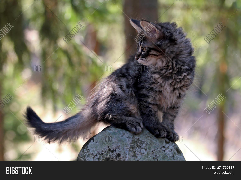Norwegian Forest Cat Image Photo Free Trial Bigstock
