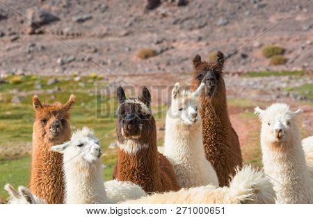 Llama in remote area of Argentina