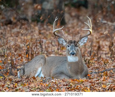 White-tailed Deer Bedded Down
