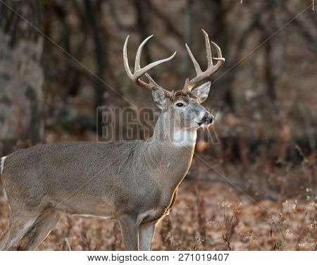 Large White-tailed Deer Buck In The Woods In Autumn