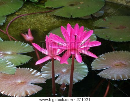 Water Lilly Horizontal