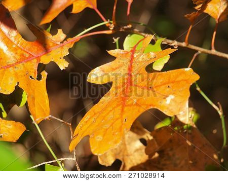 The Simple And The Delight To Find Good Veining Contrast On Fall Leaves Is Always Enjoyable.