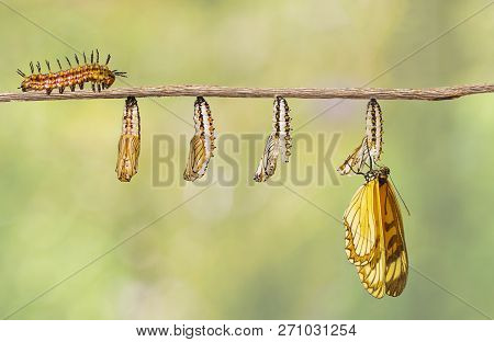 Transformation Of Yellow Coster Butterfly ( Acraea Issoria ) From Caterpillar And Chrysalis Hanging