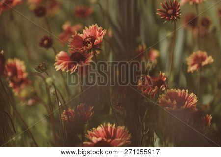 Wild And Beautiful. Flowers In Blossom. Blossoming Flowers On Nature Landscape. Idyllic Summer Natur