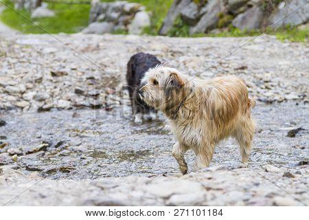Dogs Outdoor In A Park Along A River, Bichon Havanais Breed