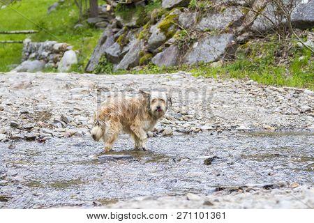 Dog Outdoor In A Park Along A River, Bichon Havanais Breed Female