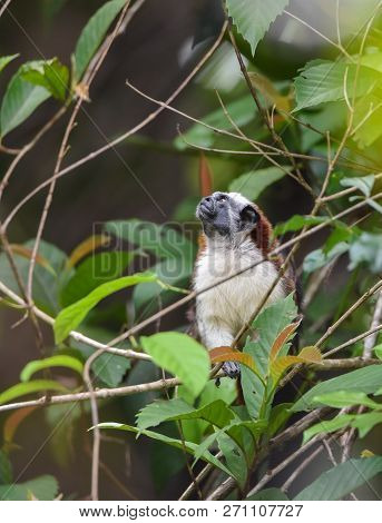 Geoffroys Tamarin (saguinus Geoffroyi) Small Monkey In Panama Rain Forest.   Aka  The Panamanian, Re