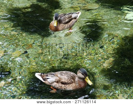The ducks at the source of the Bosna River in Sarajevo poster