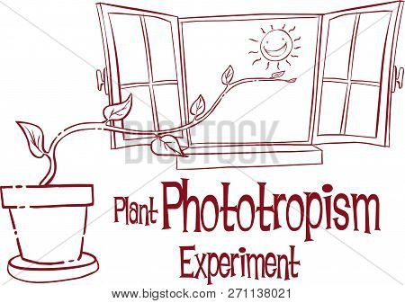 Vector İllustrations Of A Plant Phototropİsm Experİment