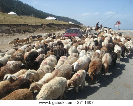 a car surrounded by a large group of sheeps on the road in the rual area of mongolia poster