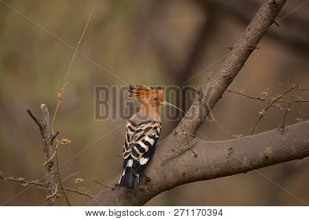Common Hoopoe, Upupa Epops, Jhalana, Rajasthan, India.  Notable For Their Distinctive Crown Of Feath