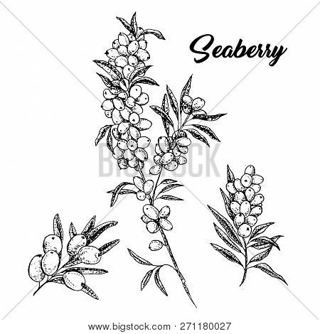Seaberry Branches Hand Drawn Vector Illustration. Hippophae Twigs Ink Pen Sketch. Black And White Cl