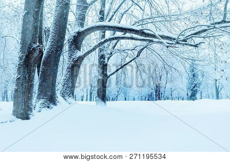 Winter landscape - frosty winter trees in winter forest in the cloudy morning. Winter forest landscape with snowy winter forest trees. Tranquil winter forest nature