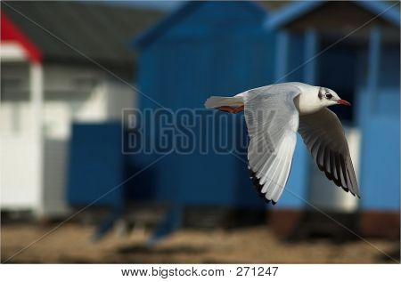 seagull flying past beach huts poster