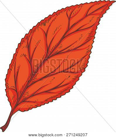 Red Dried Beech Leaf. Vector Illustration Isolated On White