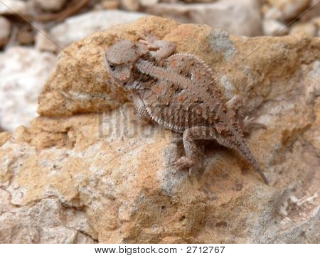 A Mountain Short-horned lizard on a rock poster