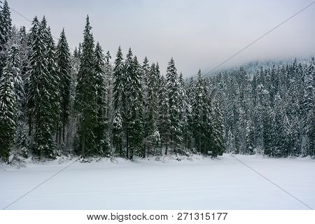 Spruce Forest In Snow. Cold Winter Overcast Weather.