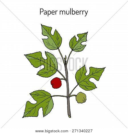 Paper Mulberry Broussonetia Papyrifera , Medicinal Plant. Hand Drawn Botanical Vector Illustration