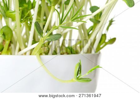 Sweet Lupin Bean Seedlings, Macro Photo. Young Plants, Sprouted From Lupin Bean Kernels, Containing