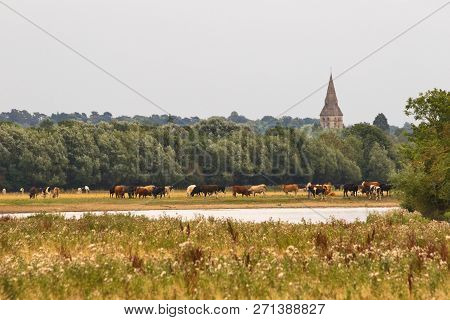 Cows In Meadow With Church Spire In Background Space For Copy