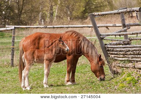 chestnut mare and foal on pasture