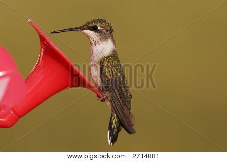 Ruby Throat Humming Bird