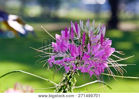 Horizontal Close Up Of A Spray Of Mauve Flower Blooms With Soft Focus Background On A Sunny Day
