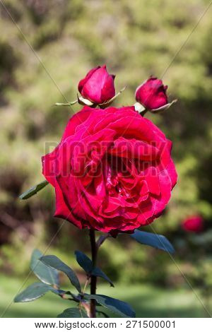 Vertical Close Up Of A Fully Bloomed Red Rose And Two Buds With Soft Focus Background On A Sunny Day
