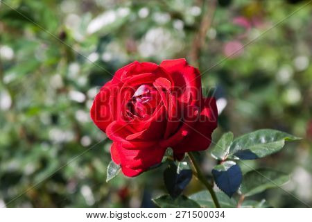 Horizontal Close Up Of A Fully Bloomed Red Rose With Soft Focus Background On A Sunny Day