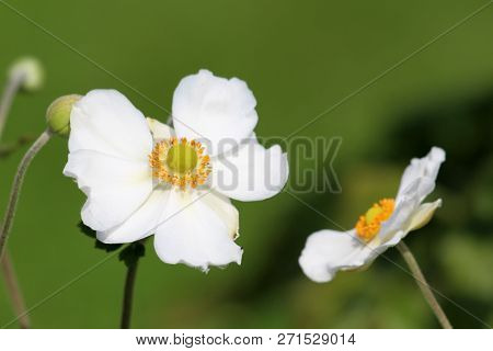 Japanese Anemone Or Anemone Hupehensis Or Thimbleweed Or Windflower Or Chinese Anemone Or Anemone Hy